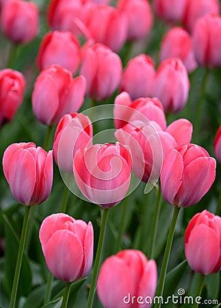 pink tulip details