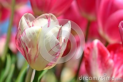Pink Tulip Macro 2