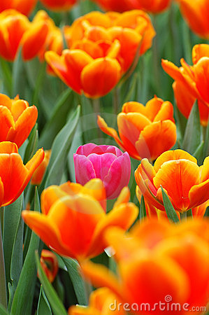 Pink tulip in orange