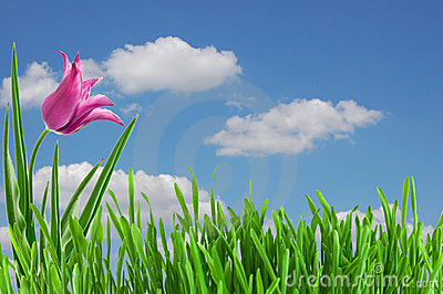 Pink tulip under blue sky