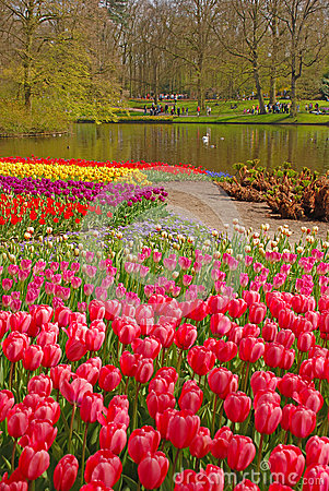 Free Pink Tulip With Colourful Tulips In Different Rows Behind In Keukenhof Stock Photo - 37258790