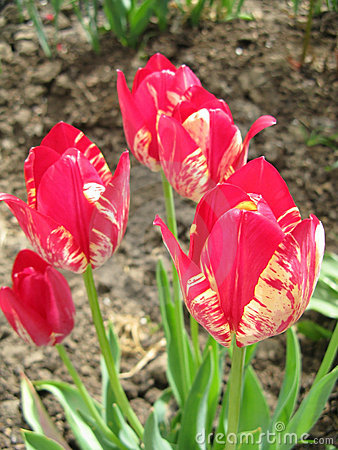 Free Pink Tulips Stock Images - 12455224