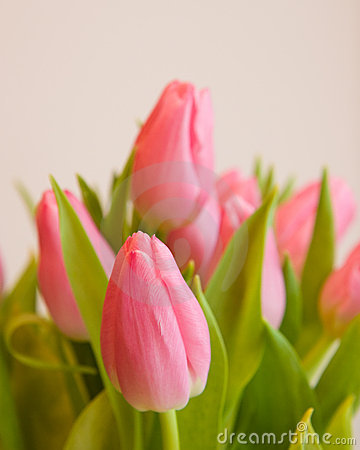 Pink Tulips Stock Images - Image: 4261774