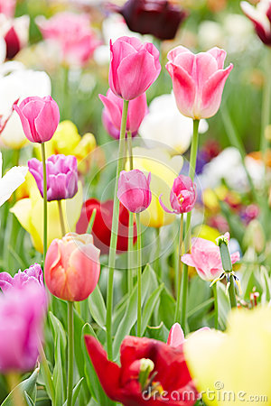 Pink tulips blooming in spring