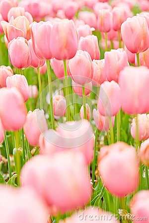 Pink tulips blossoming in garden