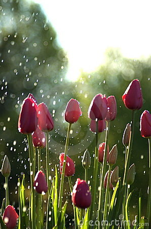 Free Pink Tulips In Rain Stock Photo - 561500