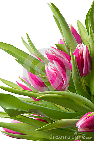 Pink tulips on isolated white