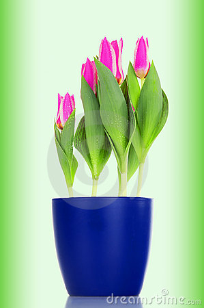 Pink tulips (Pink Love) in a blue flowerpot