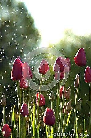Pink tulips in rain