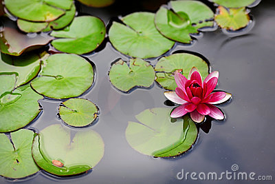 Pink water lily lotus flower
