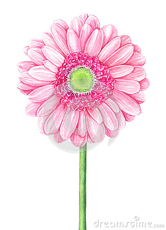 Pink watercolor gerbera on white background Cartoon Illustration
