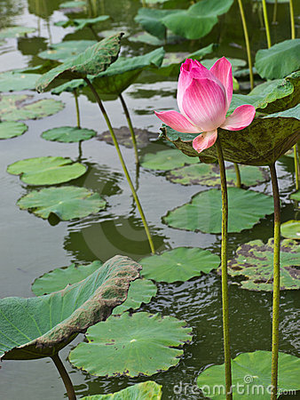 Free Pink Waterlily In Pond Royalty Free Stock Photos - 20122038
