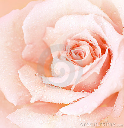 Free Pink Wet Rose Background Stock Photography - 23065032