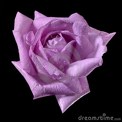 Pink wet rose flower