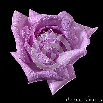 Pink wet rose flower