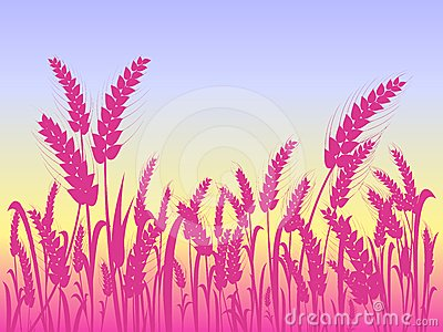 Pink Wheat Silhouettes at Field