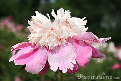 Pink and white garden peony (Chinese peony)