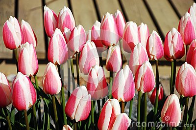 Pink and white striped tulips