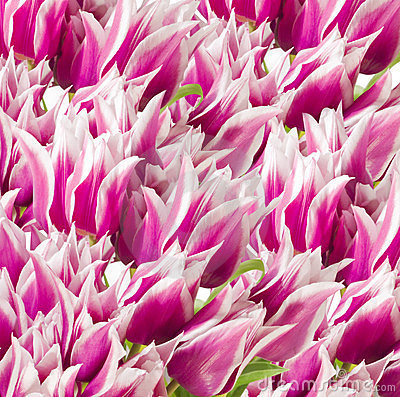 Pink and white tulips background