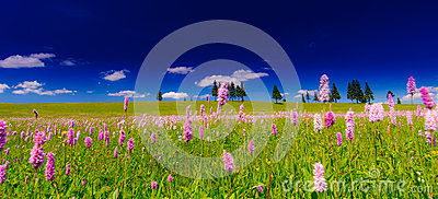 Pink wild flowers in a meadow scenery