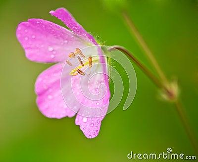 Pink Wild Geranium (Geranium maculatum)