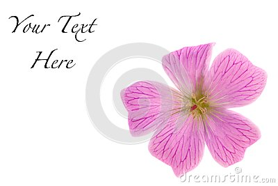 Pink Wild Geranium Maculatum Isolated