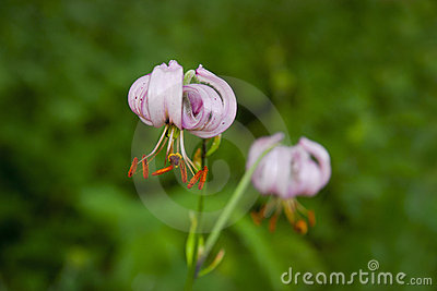 Pink wild lily