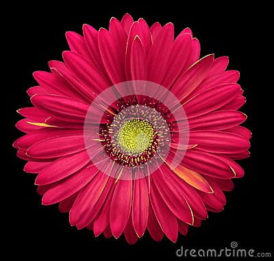 Free Pink-yellow Gerbera Flower, Black Isolated Background With Clipping Path.   Closeup.  No Shadows.  For Design. Stock Photo - 110687120