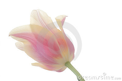 Pink and Yellow Tulip on White