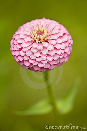 Free Pink Zinnia Royalty Free Stock Image - 6168006