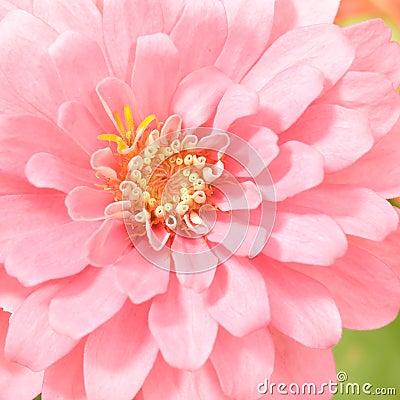 Pink Zinnia Blooming