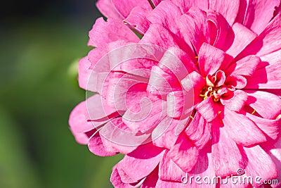 Pink Zinnia Flower.