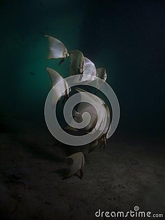 Pinnate Batfish - Platax pinnatus