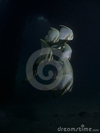 Pinnate Batfish - Platax pinnatus