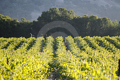 Pinot Noir Vineyard, California