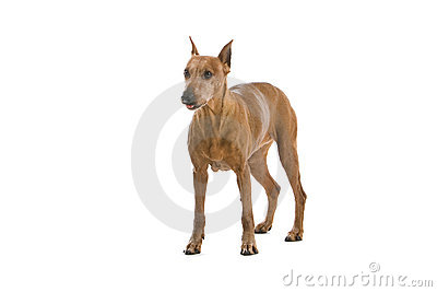 Pinscher dog on white
