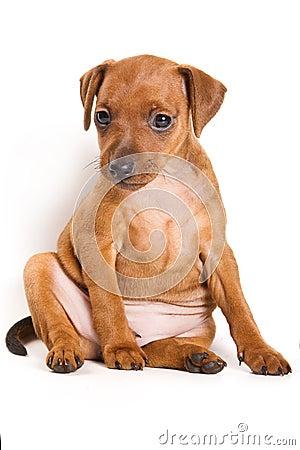 Pinscher puppy