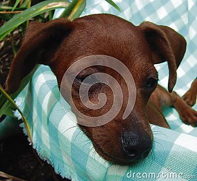 Pinscher puppy closeup