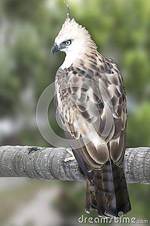 Pinsker s hawk-eagle