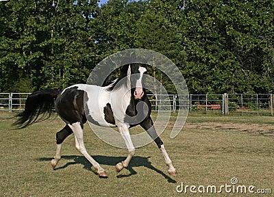 Pinto Arabian Gelding