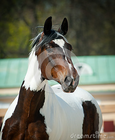 Free Pinto Horse Royalty Free Stock Photography - 32415737