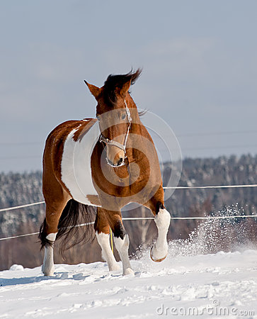 Free Pinto Horse Royalty Free Stock Photography - 33846487