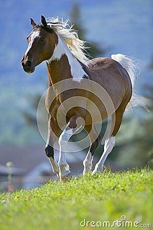 Free Pinto Horse Stock Photos - 75463663