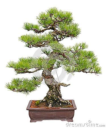 Pinus thunbergii