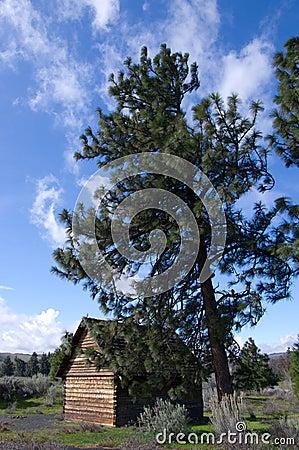 Pioneer log cabin beneath Ponderosa Pine