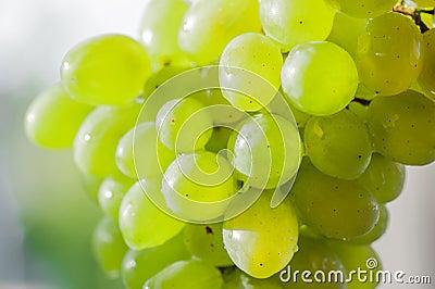 Pipe white grape bunch