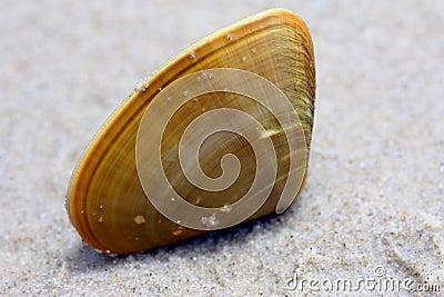 Pipi shell