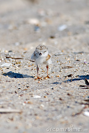 Free Piping Plover Chick On Beach Royalty Free Stock Image - 25182656
