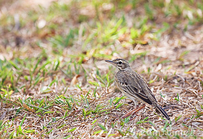 Pipit on ground