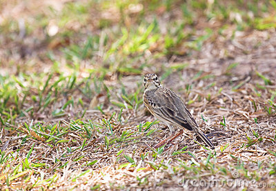 Pipit looking at you